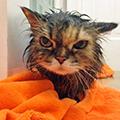 як купати кота